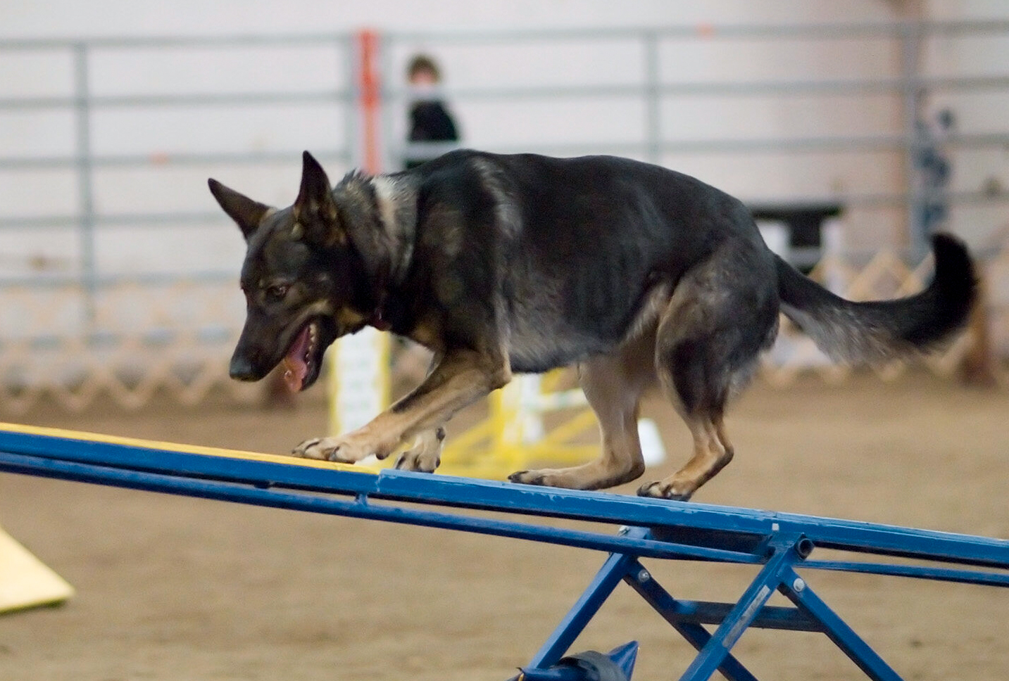 berger allemand agility 2