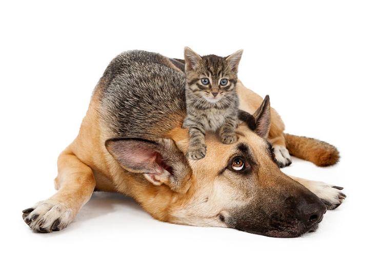 berger allemand et petit chat