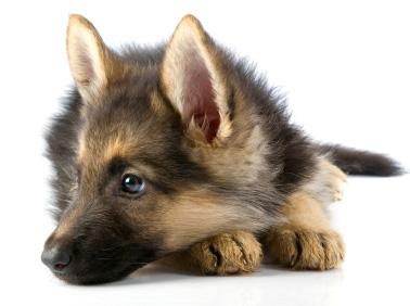 La race de chien n 39 explique pas tout le chien de berger - Berger allemand gratuit ...